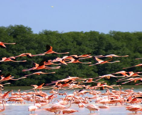 Flamingos in Celestun Flying
