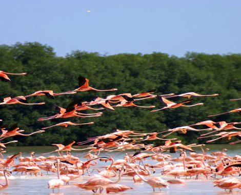 Flamingos in Celestun Flying